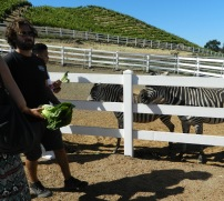 Feeding the Zebras!